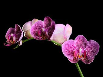 4360286_orchid6 (340x255, 15Kb)