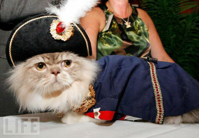карликовые_кошки_породы_наполеон_фото_01 (400x278, 29Kb)
