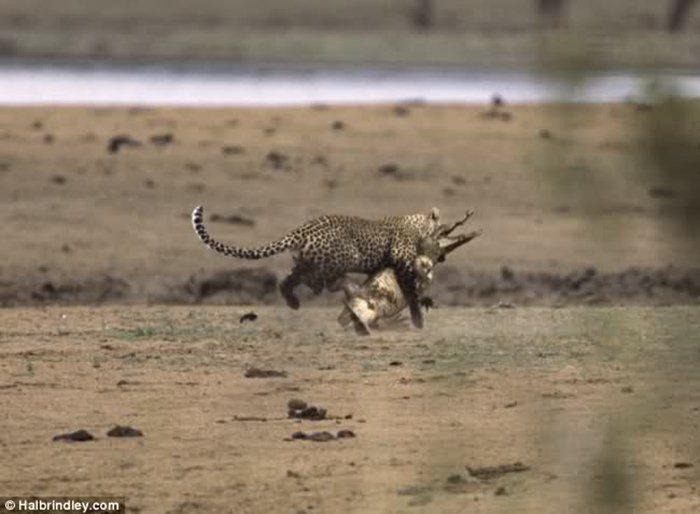 Гепард против крокодила 03 (700x514, 47Kb)