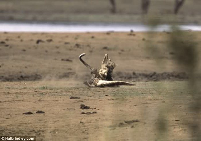 Гепард против крокодила 06 (700x492, 43Kb)
