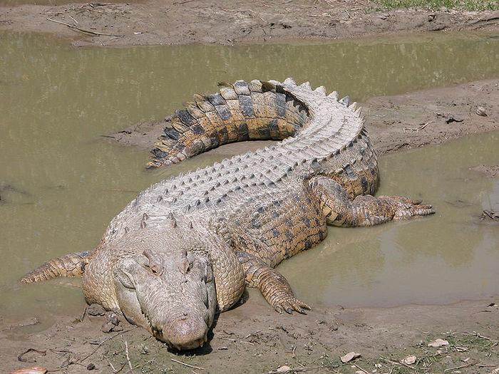 Гребнистый крокодил (700x525, 107Kb)