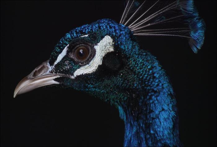 birds-81 (700x476, 35Kb)
