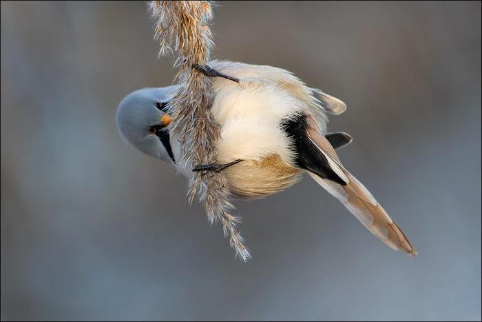 birds-109 (700x467, 27Kb)