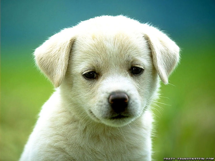 cute-puppy-dog-wallpapers (700x525, 87Kb)
