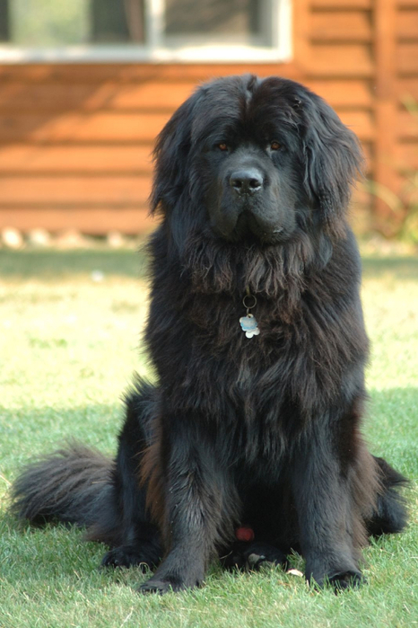 Newfoundland_dog_Smoky (466x700, 343Kb)