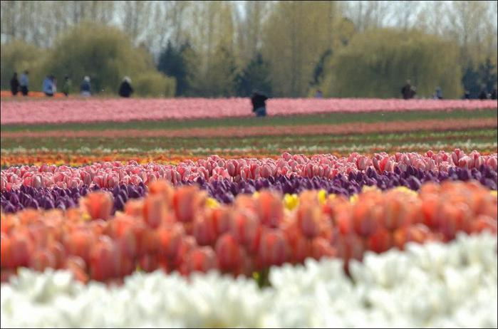 field-of-tulips-05 (700x462, 46Kb)