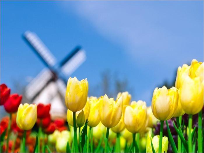 field-of-tulips-09 (700x525, 37Kb)