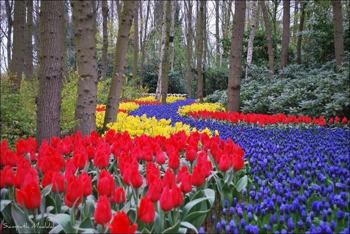 field-of-tulips-14 (700x468, 92Kb)