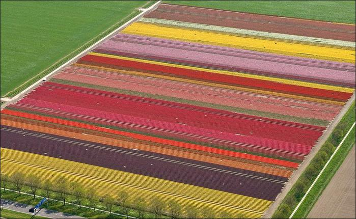 field-of-tulips-19 (700x430, 69Kb)