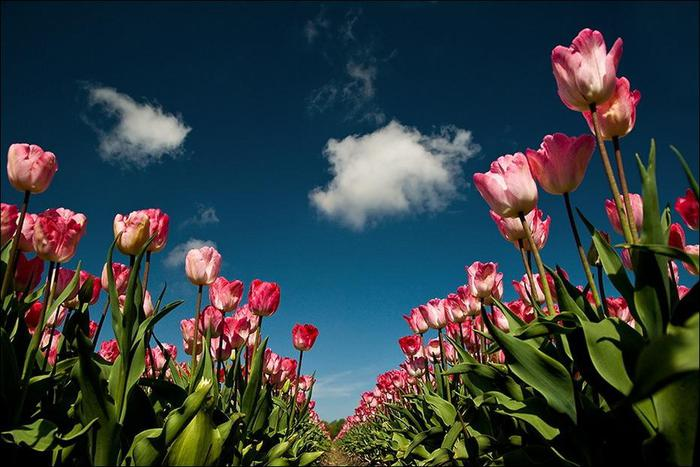 field-of-tulips-21 (700x467, 58Kb)