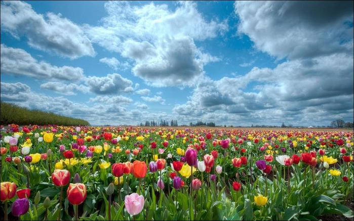 field-of-tulips-25 (700x437, 66Kb)