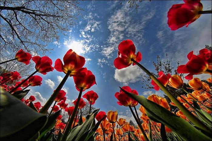 field-of-tulips-31 (700x466, 83Kb)