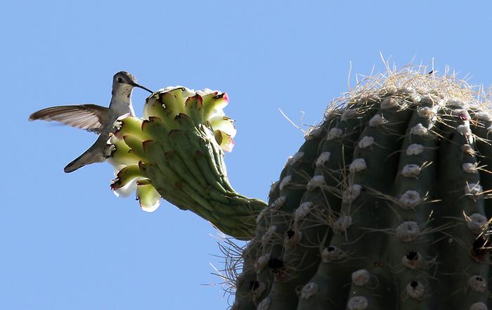 кактус Сагуаро
