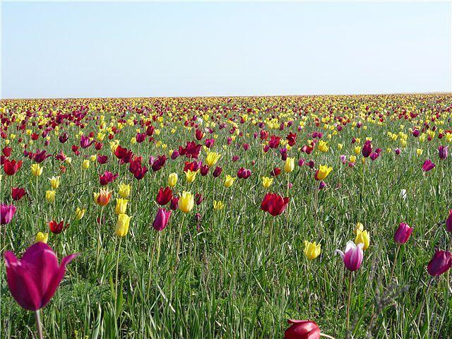 тюльпаны (640x480, 104Kb)