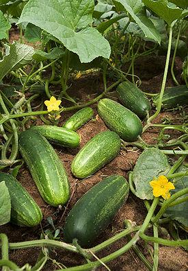 275px-ARS_cucumber (275x395, 52Kb)