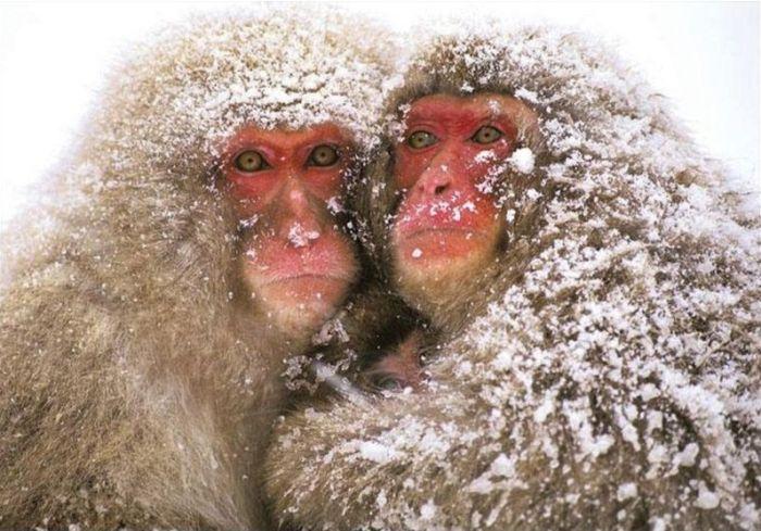 primates_07 (700x489, 80Kb)