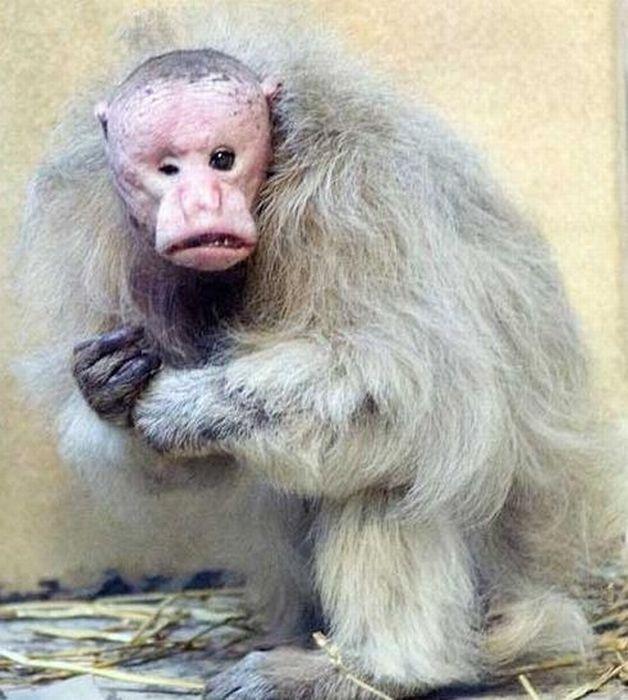 primates_17 (628x700, 70Kb)