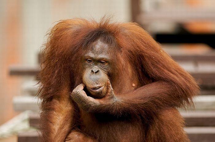 primates_31 (700x465, 54Kb)
