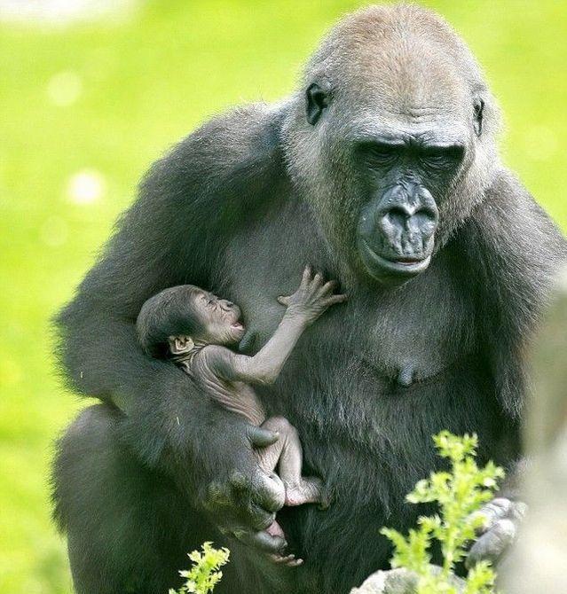 primates_64 (639x670, 87Kb)