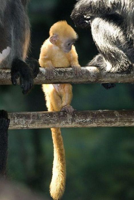 primates_68 (469x700, 49Kb)