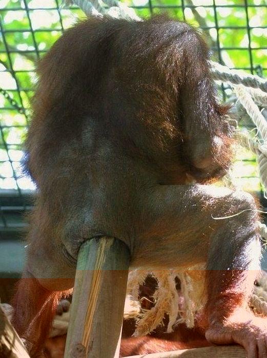 primates_79 (521x700, 74Kb)
