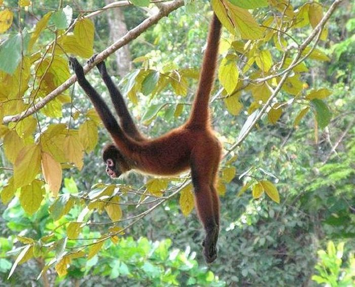 primates_89 (700x566, 94Kb)