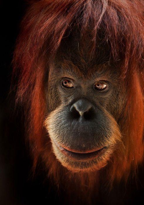 primates_109 (491x700, 56Kb)