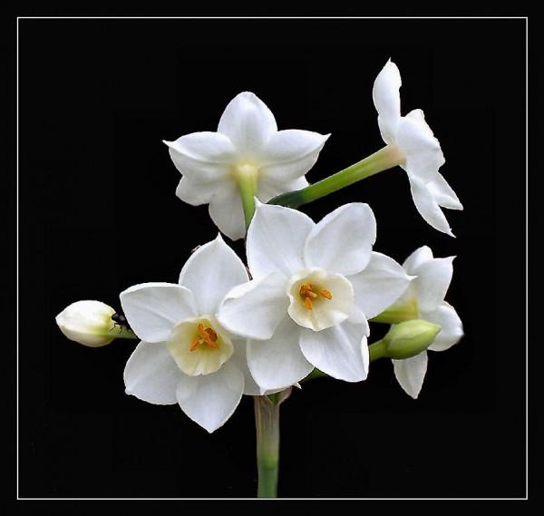 69066204_6174Paperwhite_Narcissusmed (600x569, 42Kb)