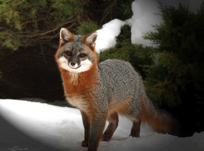 All sizes  Gray Fox in Winter  Flickr - Photo Sharing! (700x519, 761Kb)