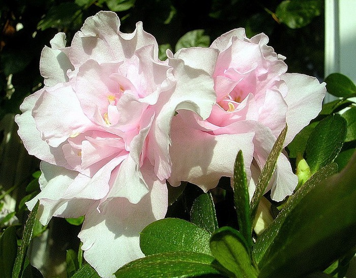 Азалия (рододендрон Симса).  За красивые цветы её часто сравнивают с розой.  Такая красавица и такая коварная.