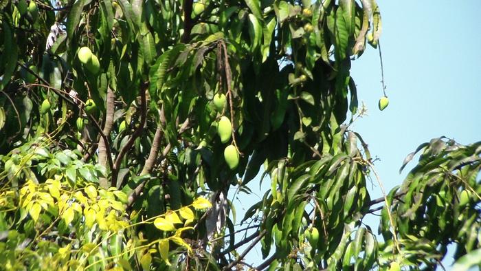 Фото нашего фруктового дерева со зреющими манго :: BlogRider.ru