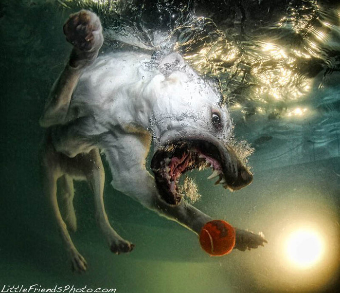underwater-photos-of-dogs-seth-casteel-4 (700x602, 136Kb)