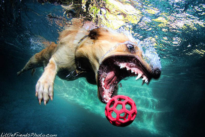 underwater-photos-of-dogs-seth-casteel-10 (700x469, 152Kb)