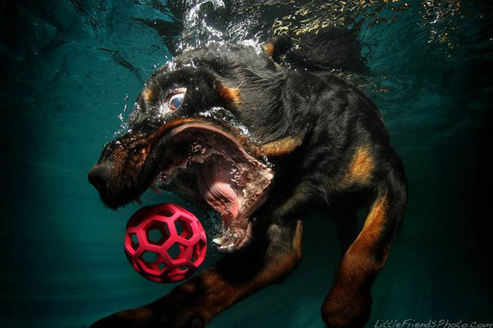 underwater-photos-of-dogs-seth-casteel-11 (700x465, 104Kb)