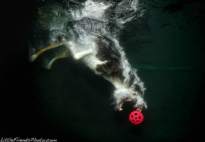 underwater-photos-of-dogs-seth-casteel-12 (700x488, 76Kb)