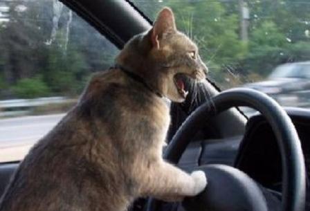 кошка в авто (448x305, 19Kb)