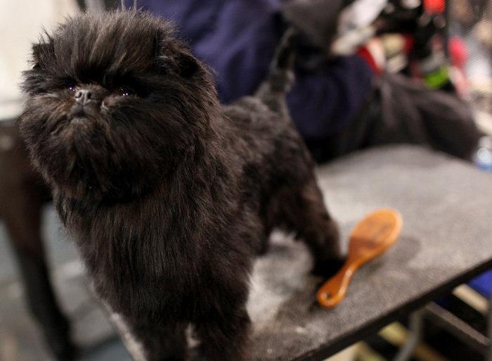 westminster_dog_show_02 (700x513, 68Kb)