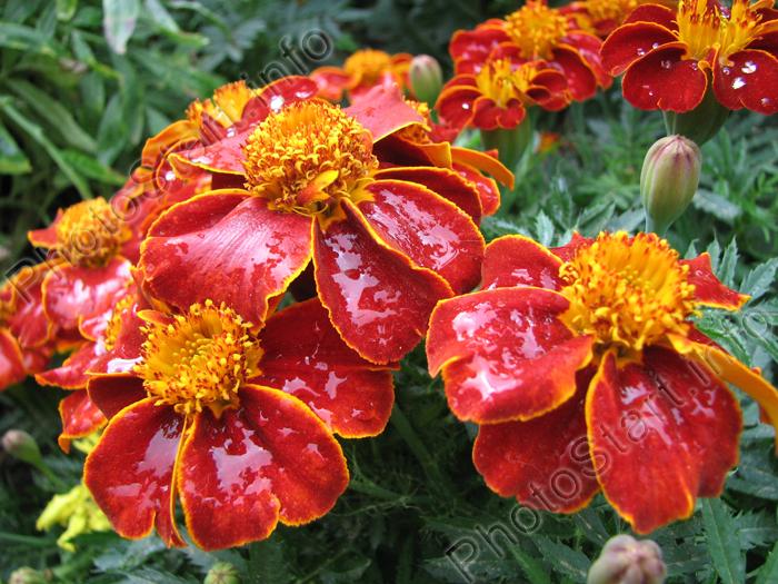 Осенние цветы осенние цветы бордовый