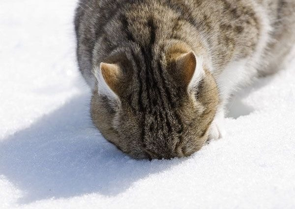 кот в снегу (600x425, 48Kb)