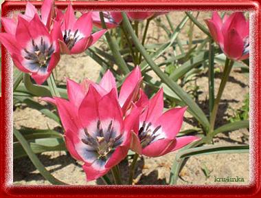 тюльпан (380x288, 253Kb)