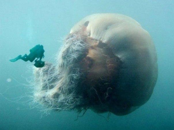 медуза (604x453, 39Kb)