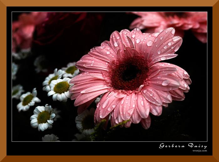 Gerbera-Daisy-9-a26398274 (700x519, 221Kb)