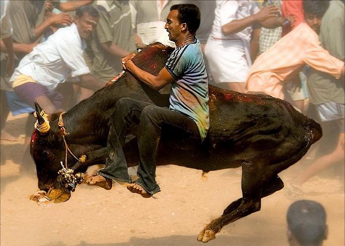 Bull-Taming-Sport-1 (700x499, 143Kb)