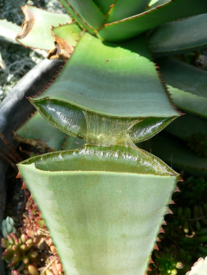 thumb_415_x_552_10514-aloe-3 (415x552, 198Kb)
