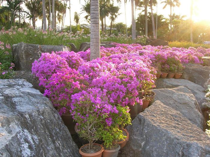 Парк Нонг Нуч (Nong Nooch Tropical Garden) 86939
