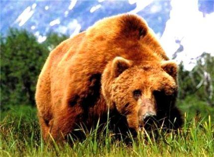 Бурый медведь (431x316, 32Kb)