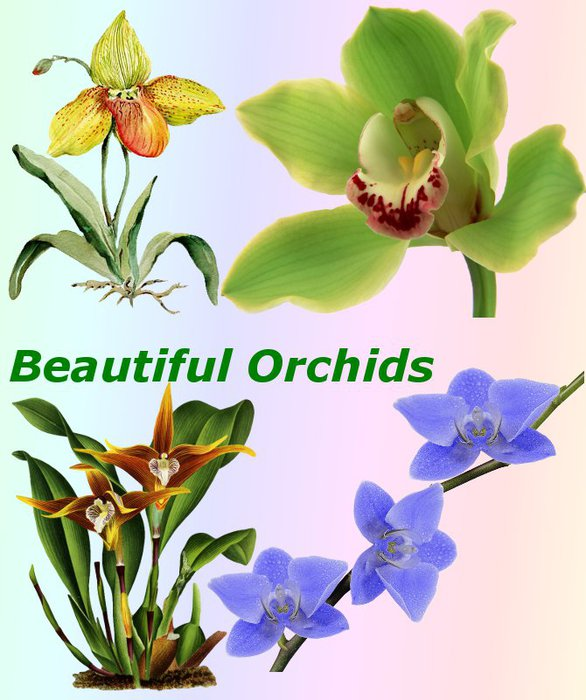 3291761_01Beautiful_Orchids (586x700, 77Kb)