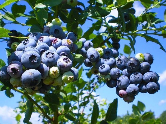 черничный куст с ягодами (700x525, 125Kb)