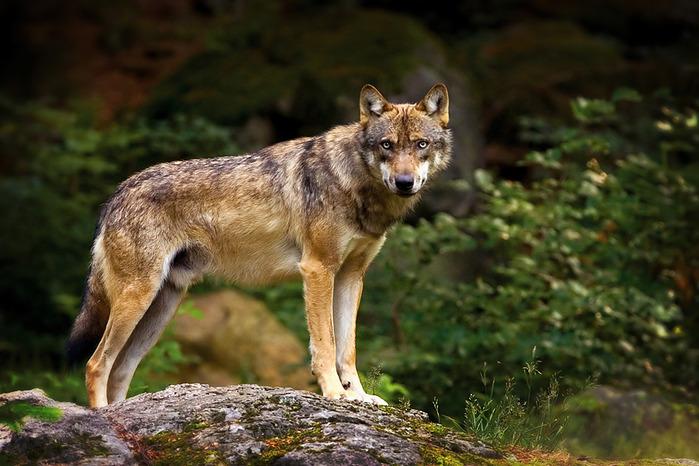 wolf (700x466, 123Kb)