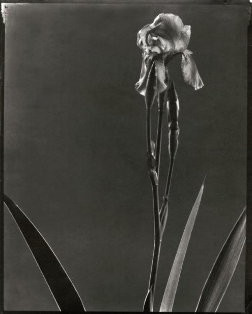 edward_steichen-flowerstudy2-iris (495x615, 61Kb)